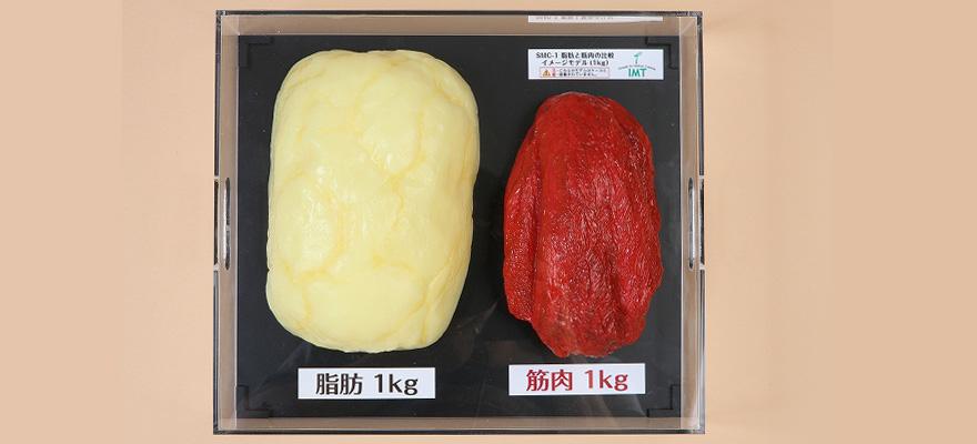脂肪と筋肉の模型